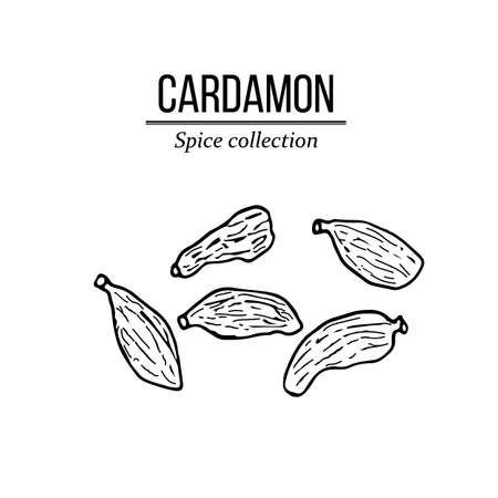 Spice collection, cardamon hand drawn. Vector illustration
