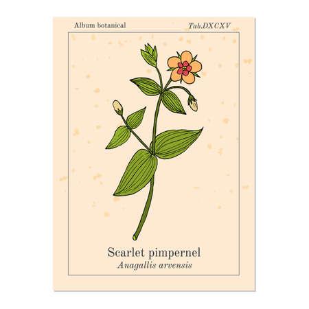 Scarlet pimpernel Anagallis arvensis , or red chickweed, poorman s barometer, shepherd s clock, medicinal plant. Hand drawn botanical vector illustration Ilustração