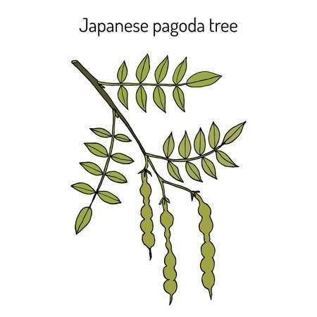 Japanese pagoda tree Styphnolobium japonicum , or Sophora, medicinal plant Ilustrace