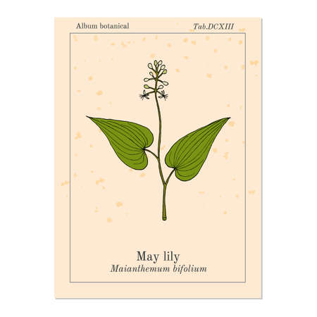 False Lily of the Valley Maianthemum bifolium , medicinal plant. Hand drawn botanical vector illustration