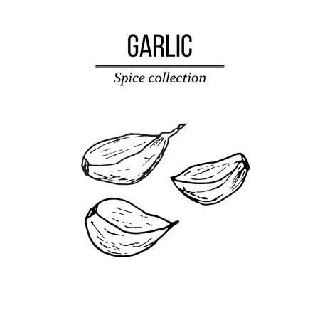 Spice collection, garlic hand drawn