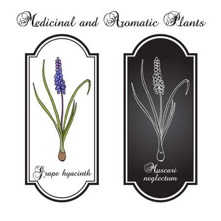 Grape hyacinth Muscari neglectum , medicinal plant