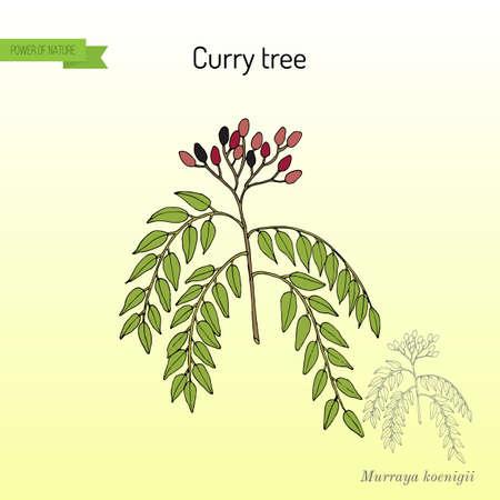Curry tree Murraya koenigii , medicinal plant. Hand drawn botanical vector illustration