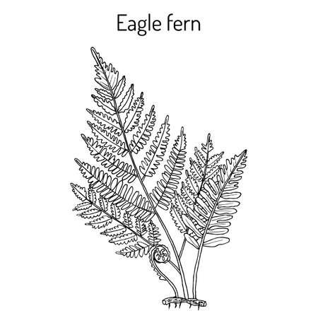 Eagle fern Pteridium aquilinum , or bracken, medicinal plant. Hand drawn vector botanical illustration Vettoriali