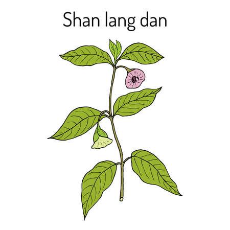 Anisodus tanguticus, medicinal plant. Hand drawn botanical vector illustration