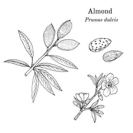 Medicinal and kitchen plant almond Prunus dulcis . Hand drawn botanical vector illustration