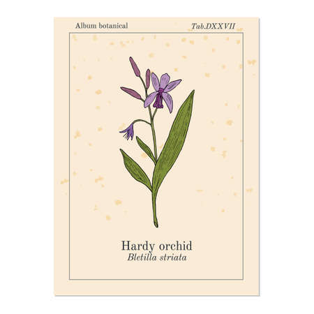 Hardy, or hyacinth orchid Bletilla striata , medicinal plant. Hand drawn botanical vector illustration 스톡 콘텐츠 - 127456441