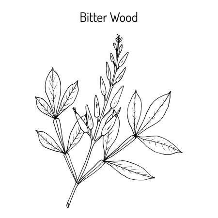 Bitter-wood Quassia amara , or amargo, bitter-ash, hombre grande, medicinal plant. Hand drawn botanical vector illustration