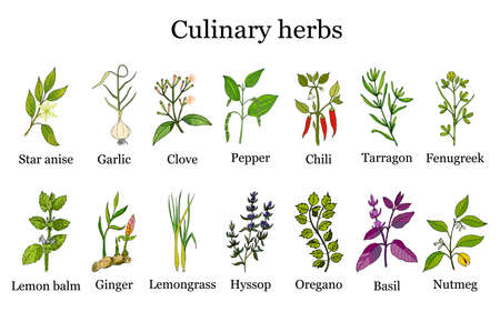 Hand drawn set of culinary herbs and spices. Vector illustration. Illustration