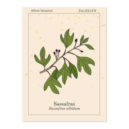 Sassafras albidum medicinal plant. Hand drawn botanical vector illustration