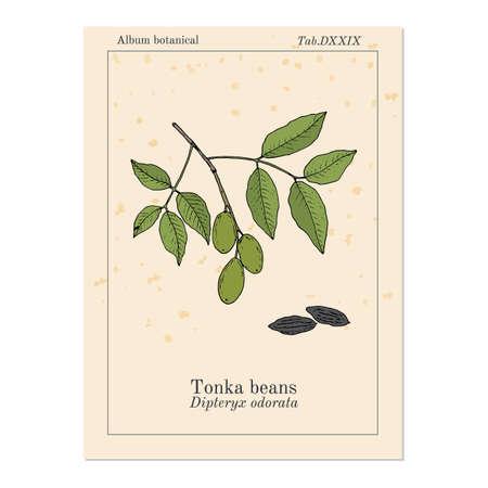 Tonka beans Dipteryx odorata , aromatic and medicinal plant. Hand drawn botanical vector illustration 向量圖像