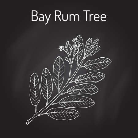 Bay rum Pimenta racemosa , medicinal plant. Hand drawn botanical vector illustration