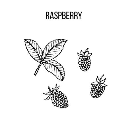 Berry hand drawn collection, raspberry