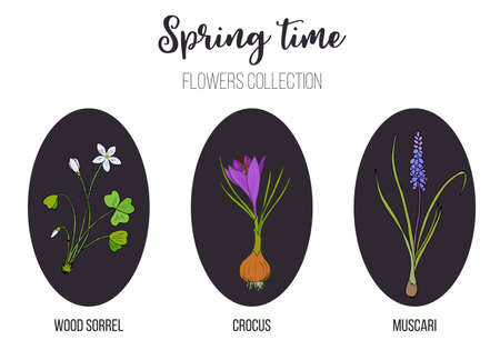 Spring flowers set crocus, muscari, wood sorrel. Hand drawn botanical vector illustration