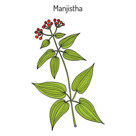 Manjistha Rubia cordifolia , or Indian madder, medicinal plant