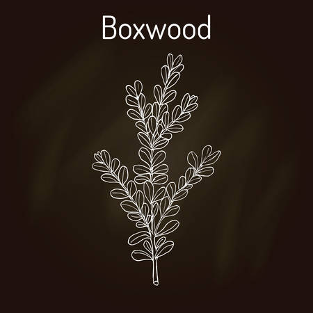 Boxwood (Buxus sempervirens), or European box, medicinal plant. Hand drawn botanical vector illustration