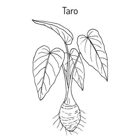 Taro Colocasia esculenta , eatable and medicinal plant. Hand drawn botanical vector illustration