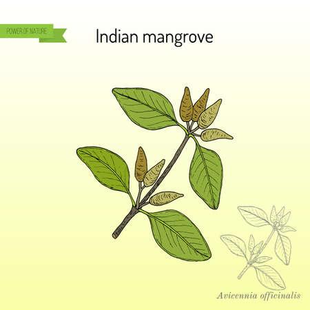 Indian mangrove Avicennia officinalis , medicinal plant. Hand drawn botanical vector illustration
