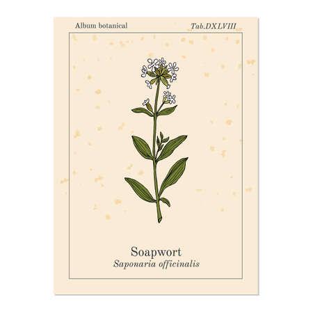 Soapwort Saponaria officinalis , medicinal plant. Hand drawn botanical vector illustration