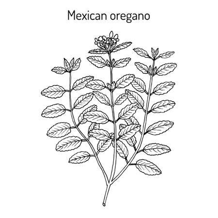 Mexican oregano Lippia graveolens , medicinal plant. Hand drawn botanical vector illustration Ilustração