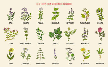 Best herbs for a medicinal garden. Vector hand drawn color collection Illustration