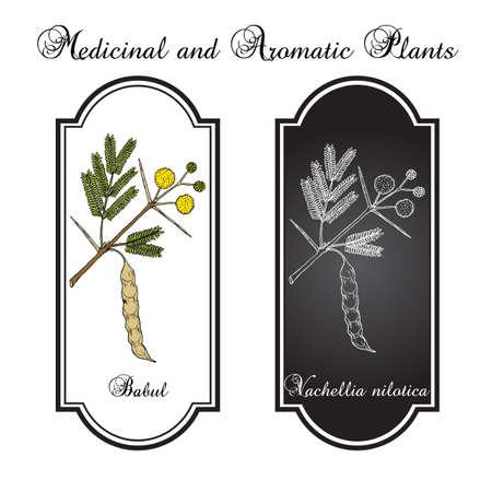 Babul Vachellia nilotica oder dornige Akazie, Heilpflanze Vektorgrafik