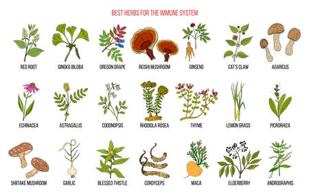 Best medicinal herbs for the immune system. Hand drawn set of medicinal herbs Illustration