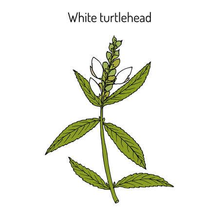 White turtlehead Chelone glabra , or bitter herb, salt rheum weed, shellflower, snakehead, medicinal plant. Hand drawn botanical vector illustration