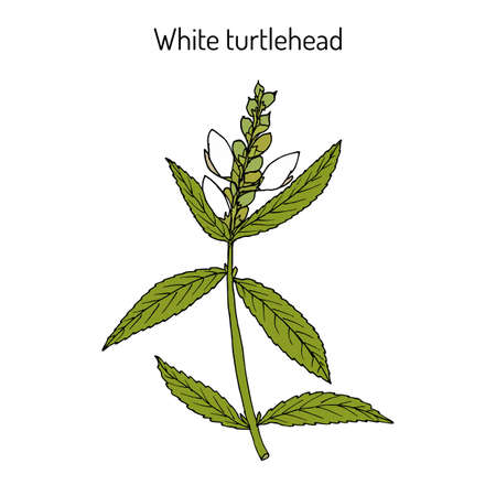 White turtlehead Chelone glabra , or bitter herb, salt rheum weed, shellflower, snakehead, medicinal plant. Hand drawn botanical vector illustration
