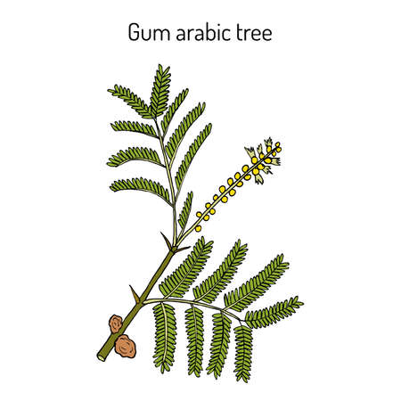Gummi arabicum Baum Akazie Senegal oder Kher, Heilpflanze. Handgezeichnete botanische Vektorillustration Vektorgrafik