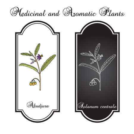 Australian desert raisin Solanum centrale , or akudjura, kutjera, bush tomato, spice plant. Hand drawn botanical vector illustration