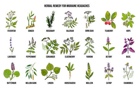 Best medicinal herbs for migraines relief. Hand drawn botanical vector illustration Banque d'images - 125849595