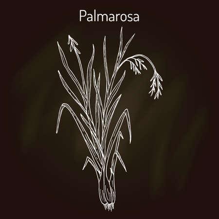 Palmarosa Cymbopogon martinii , medicinal plant. Hand drawn botanical vector illustration