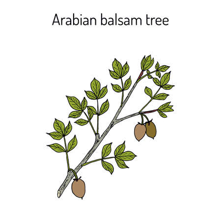 Arabian balsam tree Commiphora gileadensis , or balm of Gilead, Mecca myrrh, medicinal plant. Hand drawn botanical vector illustration
