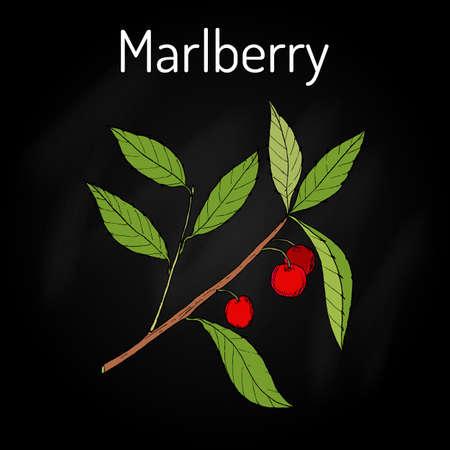 Marlberry Ardisia japonica , medicinal plant Illustration