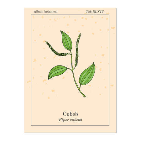 Java pepper Piper cubeba , or cubeb, medicinal plant. Hand drawn botanical vector illustration