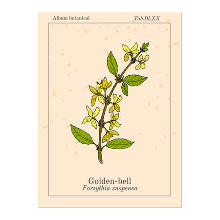 Golden bell Forsythia suspensa , medicinal plant. Hand drawn botanical vector illustration Illustration