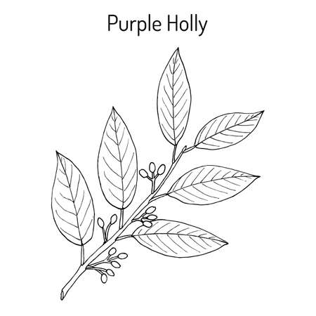 Purple holly Ilex purpurea , medicinal plant. Hand drawn botanical vector illustration