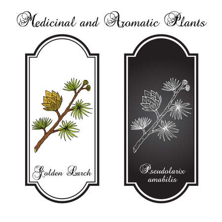 Golden Larch Pseudolarix amabilis , medicinal plant. Hand drawn botanical vector illustration Ilustração