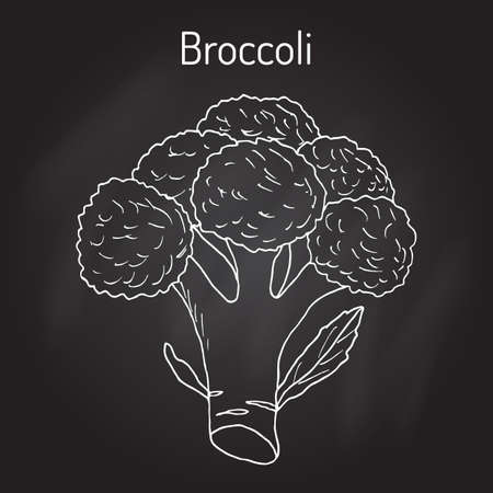 Broccoli Brassica oleracea , edible green plant. Hand drawn botanical vector illustration