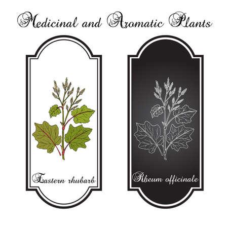 Eastern rhubarb Rheum officinale , medicinal plant. Hand drawn botanical vector illustration