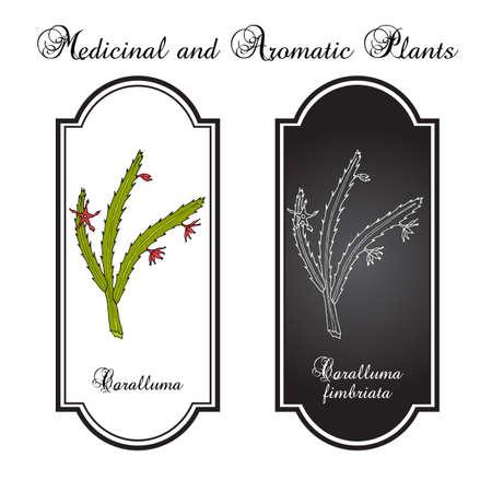 Caralluma Fimbriata, medicinal plant. Hand drawn botanical vector illustration