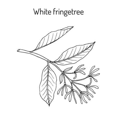 White Fringetree Chionanthus virginicus , medicinal plant. Hand drawn botanical vector illustration