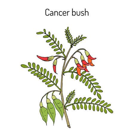 Cancer bush sutherlandia frutescens , or balloon pea, medicinal plant. Hand drawn botanical vector illustration