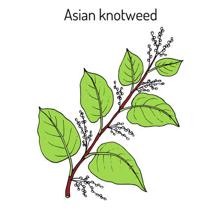 Asian,or Japanese knotweed Fallopia japonica , medicinal plant. Hand drawn botanical vector illustration