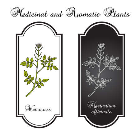Watercress Nasturtium officinale , aquatic medicinal plant. Hand drawn botanical vector illustration