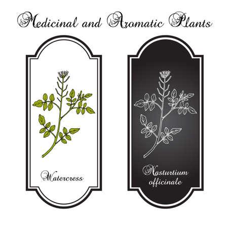 Watercress Nasturtium officinale , aquatic medicinal plant. Hand drawn botanical vector illustration 矢量图片