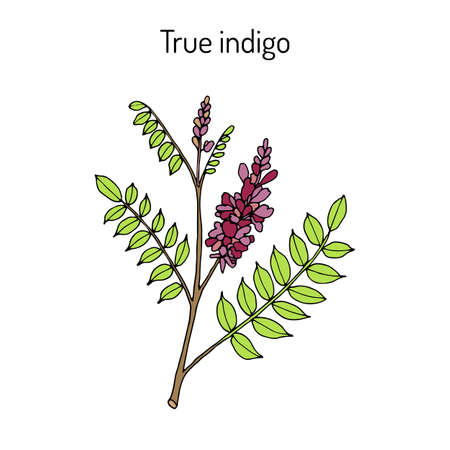 True indigo indigofera tinctoria , medicinal plant