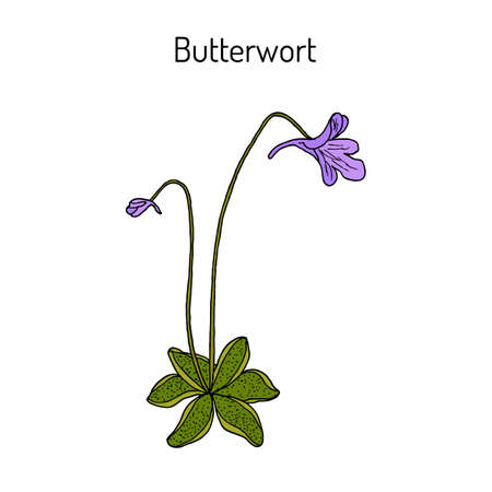 Butterwort pinguicula vulgaris , medicinal plant. Hand drawn botanical vector illustration