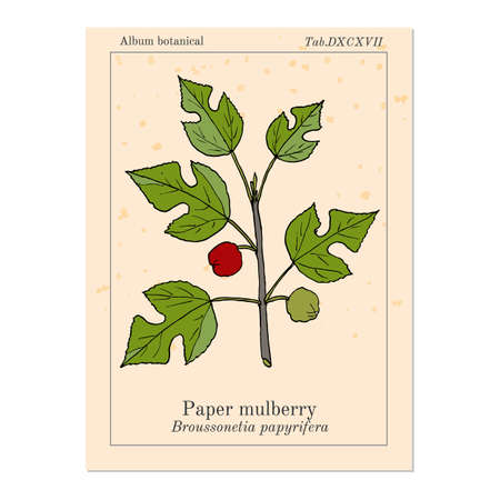 Paper Mulberry Broussonetia papyrifera , medicinal plant. Hand drawn botanical vector illustration Çizim